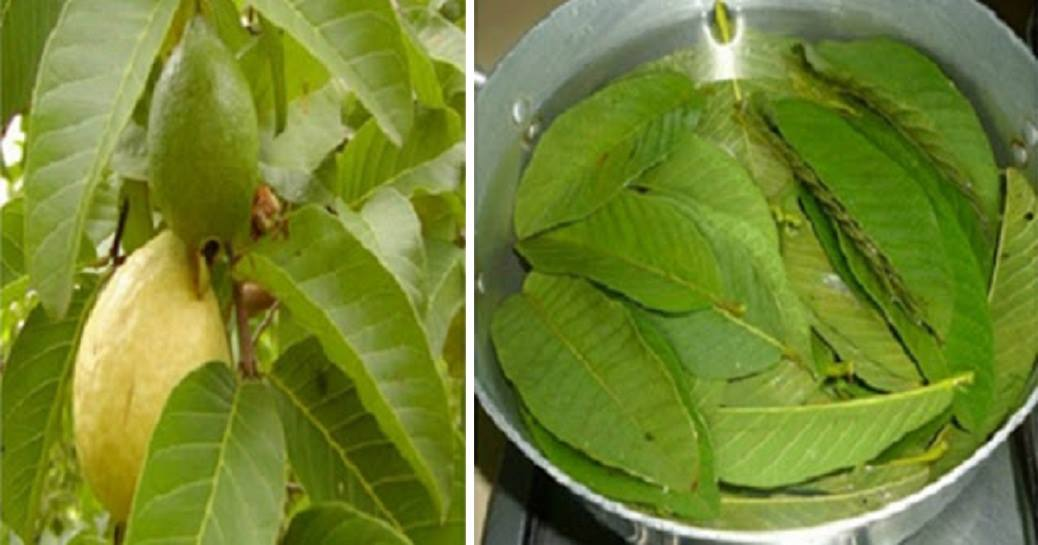 16 Amazing Benefits Of Guava Leaves For Your Skin, Hair And Body