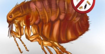 Top Home Remedies to Get Rid of Fleas